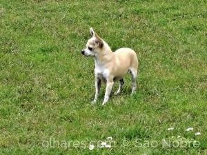 Animais/Chihuahua