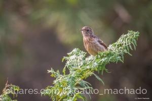 Animais/Cartaxo-comum (juvenil-1) Saxicola rubicola