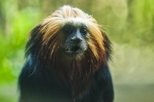 Animais/Mico-leão da cara dourada
