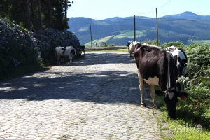 /Cows walking on the street .......