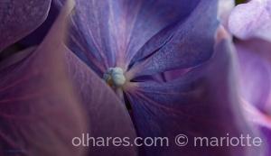 /Coração de flor azulada de hidranja
