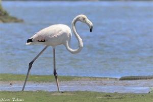 /Flamingo (Phoenicopterus roseus)