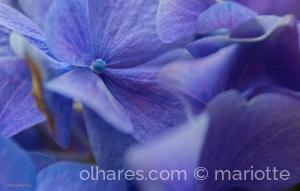 /hidranja azul