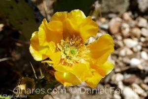 /Flor de cato da India