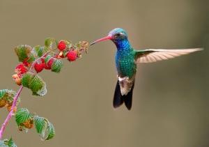 /Beija flor de peito azul