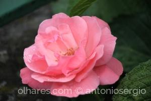 Macro/A mesma rosa