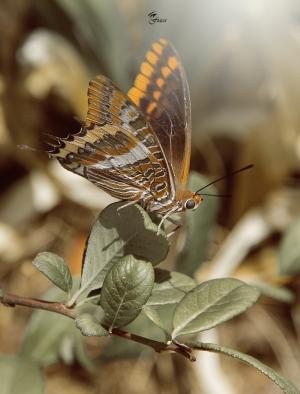 /borboleta do medronheiro