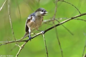 Animais/Chapim-carvoeiro (Periparus ater)