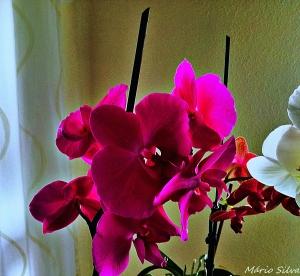 Outros/As minhas orquídeas # 7