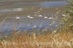 /Flamingos do Tejo