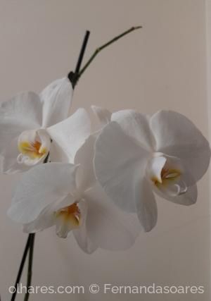 /Orquideas