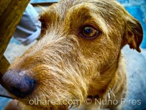 /Irish Terrier