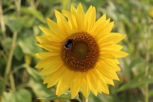 Macro/A abelha e o girassol