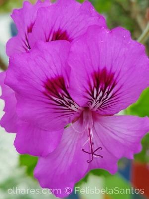 /Flor de malva .