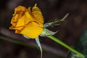 Macro/a rosa amarela