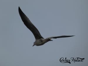 Animais/O voo da gaivota