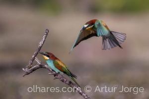 Animais/Abelharuco (Merops apiaster)