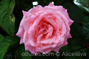 /Rosa do meu jardim.........