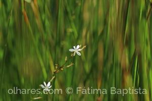 Macro/A flor do juncos
