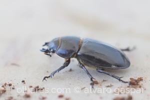 /Escaravelho vaca-ruiva.