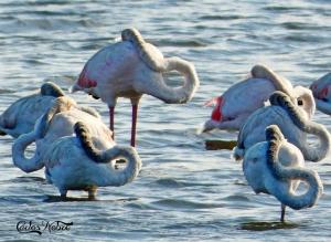 Animais/O recolher dos Flamingos