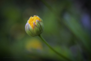 /Flor em Botão