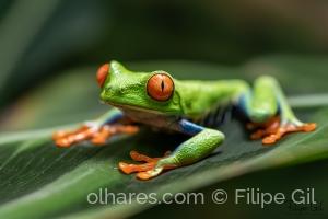 /Red-eyed tree frog (Agalychnis callidryas)