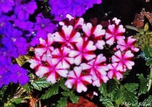 Gentes e Locais/P. PENAFIRME - do meu jardim