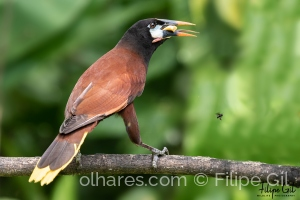 Animais/Montezuma Oropendola (Psarocolius montezuma)