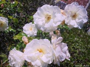 Gentes e Locais/P. PENAFIRME - do meu jardim - Rosas