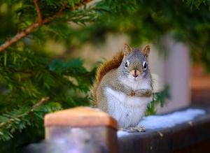 /squirrel