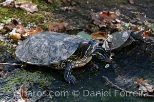 /Tartarugas da América
