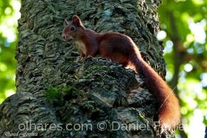 /Esquilo vermelho