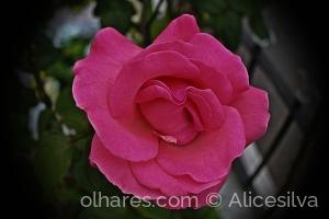 /Rosa do meu jardim....