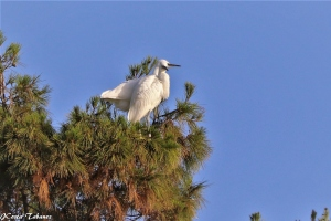 Animais/Garça-branca-pequena (Egretta garzetta)
