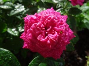 /Uma rosa na chuva  (ler pf)