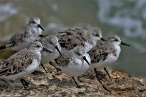 Animais/Pilrito-das-praias (Calidris alba)
