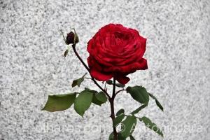 /Rosa vermelha - Vila Flor