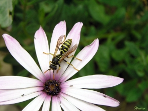 Macro/Outra vespa...