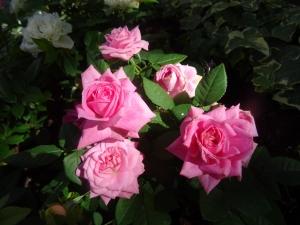 /Cor-de rosa ...(ler pf)