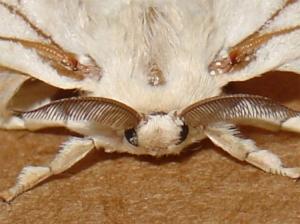 Macro/Mariposa de seda.