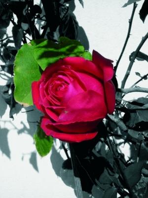 Paisagem Natural/Rosas do meu Quintal