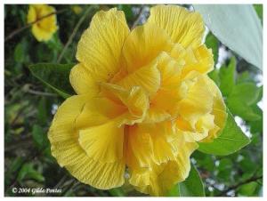 /Hibiscus