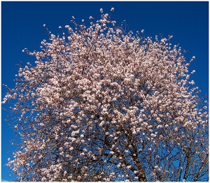 /Amendoeira em flor