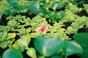 /A Rosa que sonhou nadar!