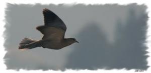 Outros/Uma rolinha voava voava...