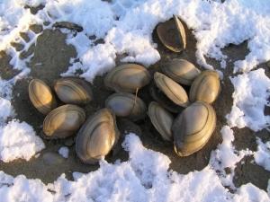 /Mejillones congelados del frio en la nieve.