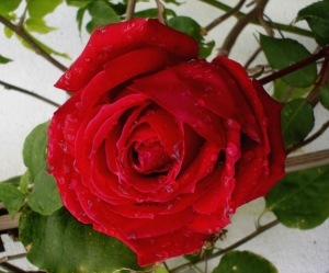 Macro/Rosas do meu Jardim