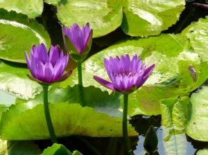 Macro/ninfeias lilas