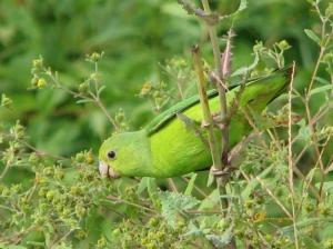 Macro/Periquito (verde no verde)